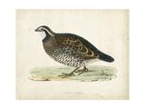 Morris Pheasants VI