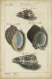 Vintage Shell Study III
