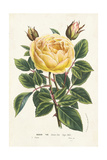 Van Houtte Yellow Rose