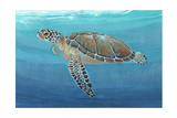Ocean Sea Turtle II