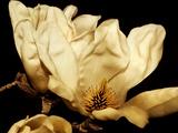 Buttercream Magnolia II