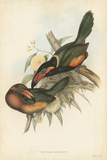 Tropical Toucans V