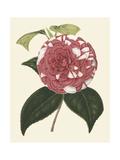 Antique Camellia II
