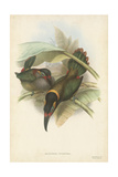 Tropical Toucans VI