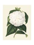 Antique Camellia I