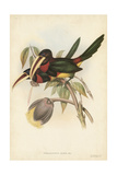 Tropical Toucans VIII