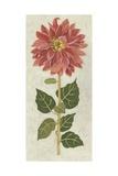 Non-Embellished Dahlia I