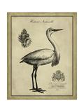 Antiquarian Egret