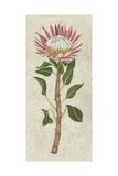 Non-Embellished Protea I
