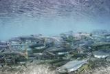 Spawning Salmon in Kinak Bay in Katmai National Park