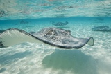 Southern Stingrays at Stingray City
