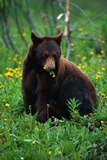 Black Bear Eating Dandelions in Meadow