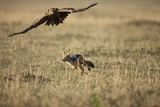 Blackbacked Jackal Chasing Tawny Eagle Near Wildebeest Kill