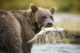 Brown Bear Bear Holding Salmon in Stream at Geographic Harbor