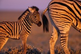 Young Plains Zebra