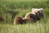 Grizzly Bear Resting on Back in Meadow at Hallo Bay