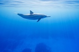 Spinner Dolphin Underwater on Hawaii's Kona Coast