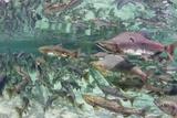 Underwater Spawning Salmon  Alaska