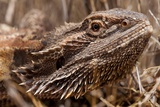 Inland Bearded Dragon in the Australian Outback
