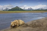 Grizzly Bear Resting