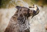 Brown Bear Catching Spawning Salmon from Stream at Kinak Bay