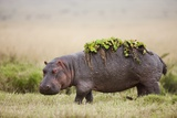 Hippopotomaus Walking on Savanna with Water Plants on it's Back