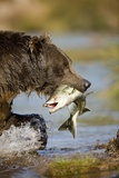 Brown Bear Holding Salmon in River at Kinak Bay