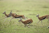 Thomson's Gazelles Running from Stalking Cheetah