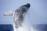 Humpback Whale Beaching Along Hawaii's Kona Coast