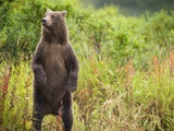 Brown Bear Cub Standing Upright at Kinak Bay