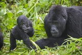 Baby Mountain Gorilla with Adult Male