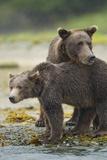 Brown Bear and Cub  Katmai National Park  Alaska