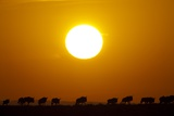Migrating Wildebeest at Sunrise in Masai Mara National Reserve