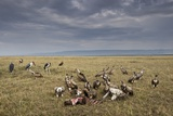 Marabou Storks and Whitebacked Vultures at Wildebeest Carcass