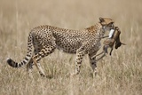 Cheetah Carrying Thomson's Gazelle Calf Kill