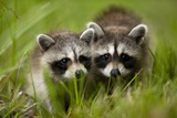 Raccoons at Assateague Island National Seashore in Maryland