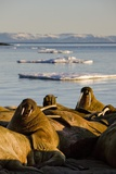 Walrus Colony Near Kapp Lee in Midnight Sun