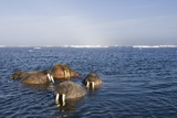 Walrus Swimming Off Shore at Tiholmane Island