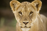 Lion in Kgalagadi Transfrontier Park
