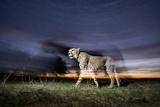 Cheetah at Dusk Papier Photo par Paul Souders