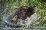 Brown Bear Fishing in Salmon Stream  Katmai National Park  Alaska
