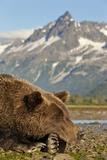 Brown Bear and Coastal Mountains  Katmai National Park  Alaska