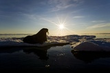 Walrus on Iceberg Near Kapp Lee in Midnight Sun