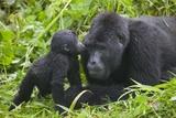 Baby Gorilla Kisses Silverback Male Papier Photo