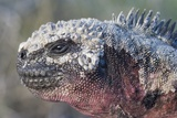 Close-Up of Red Marine Iguana