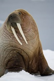 Walrus Resting on Iceberg in Bjornbukta Bay Papier Photo par Paul Souders