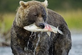 Brown Bear and Salmon  Katmai National Park  Alaska