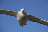Wandering Albatross in Flight at South Georgia Island