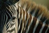 Close-Up of Plains Zebra