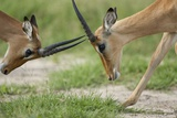 Male Impala Sparring for Dominance